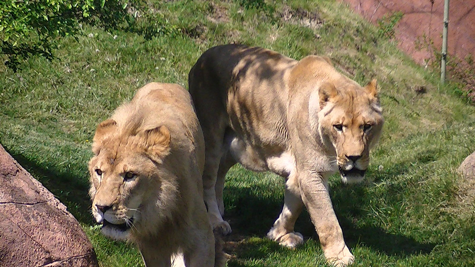 Lions at the Toronto Zoo